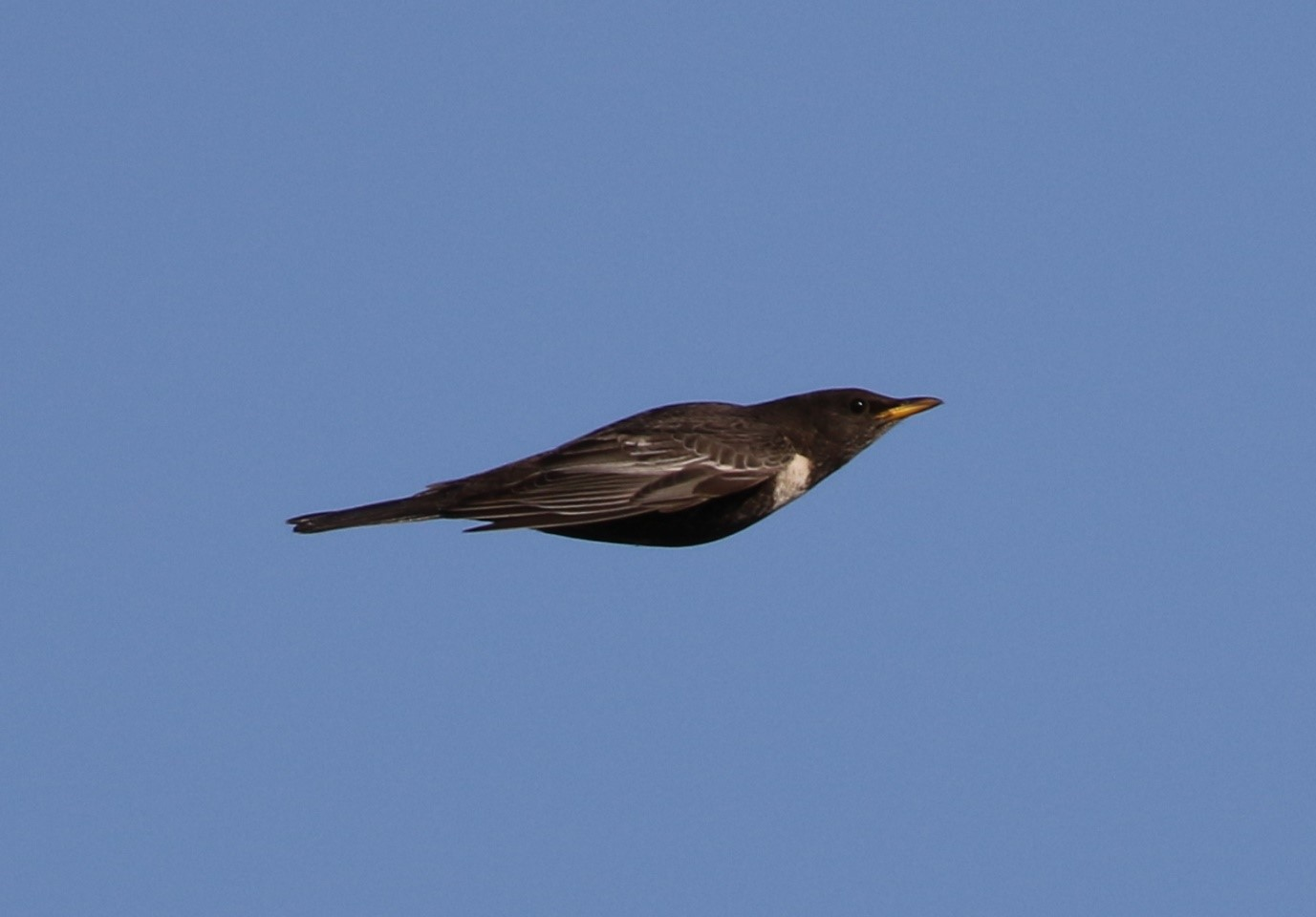 Ring Ouzel – Norfolk, April 2016 ©The Bird ID Company